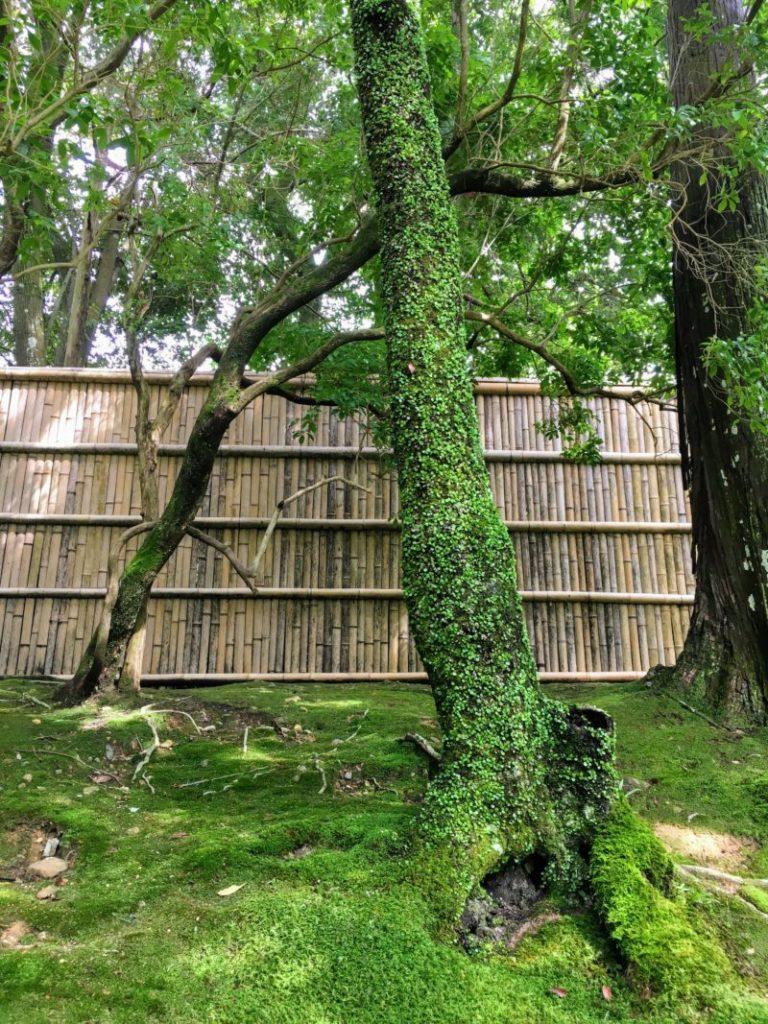 西芳寺 苔寺の木の幹の苔